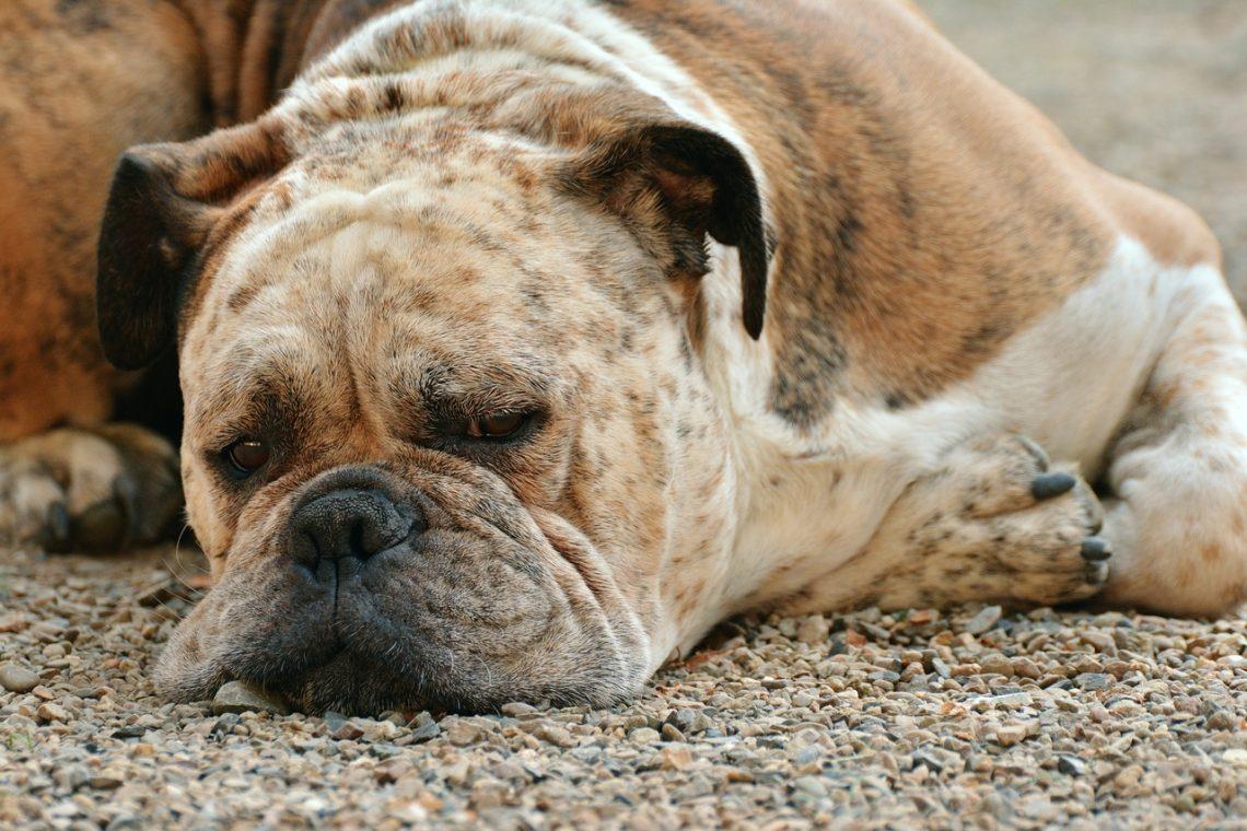 chien couché