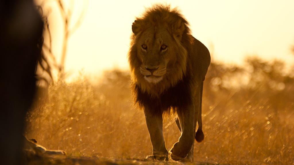lion au lever du jour