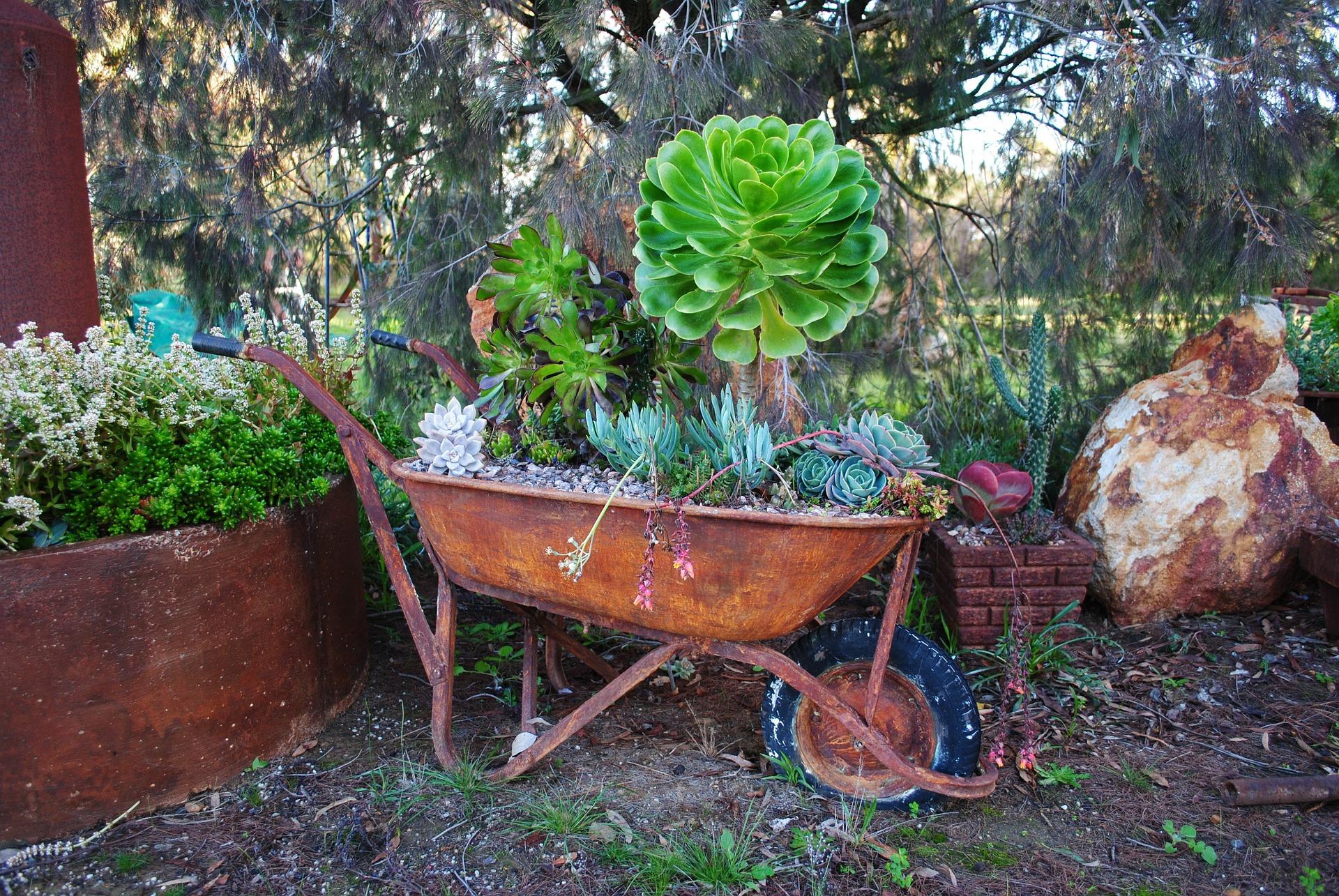 brouette avec plantes grasses dans jardin
