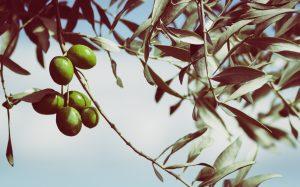 branche d'olivier avec olives